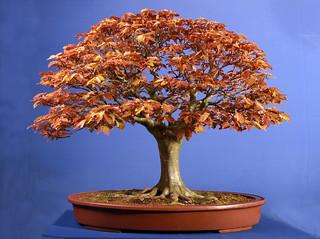 Copper Beech/Fagus 7310275690_46317fe606_n