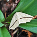 Small photo of Yellow Slant-Line Moth (Tetracis crocallata)