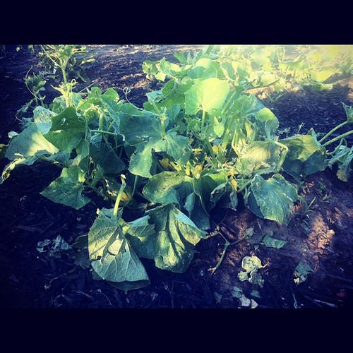 zucchini-hail