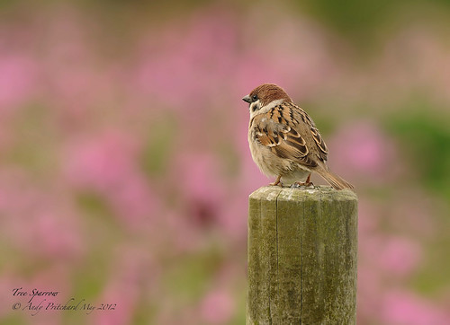 Tree Sparrow - 0500 by Andy Pritchard - Barrowford