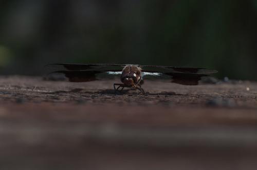 Dragonfly_5944.jpg