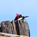 Small photo of Acorn Woodpecker