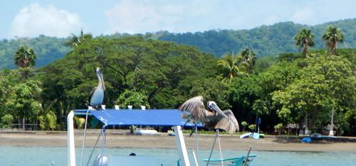 Pelicans on boat at Playas del Coco