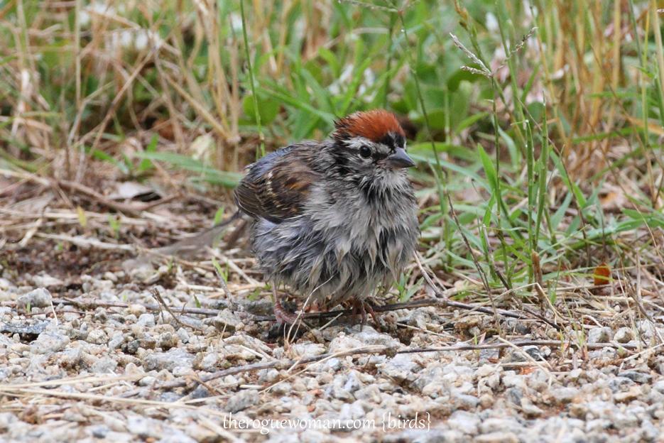 053012_02_bird_chippingsparrow03
