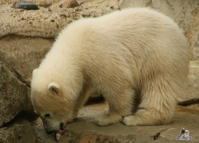 Eisbär Lilli im Zoo Bremerhaven 30.04.2016 Teil 2  106