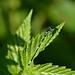 Sirotytönkorento (Coenagrion pulchellum), koiras