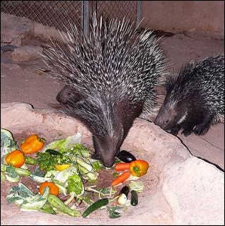 Porcupine (Hai-Bar Yotvata)