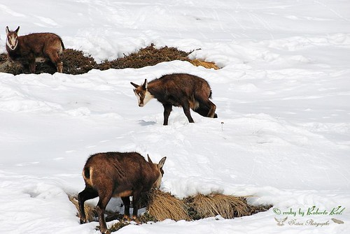 Camoscio alpino (Rupicapra rupicapra)..The Chamois