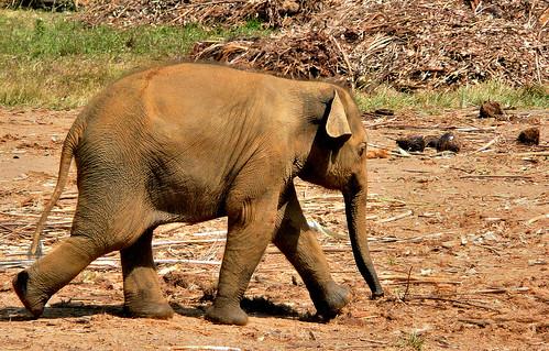 Baby Elephant -  Pinnawela - Sri Lanka, 2012