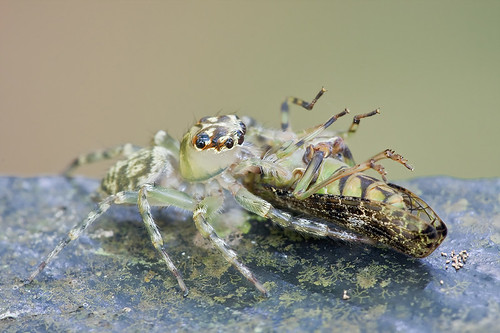 Jumping spider with cricket prey...IMG_6904 copy