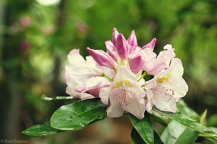 rhododendron rain