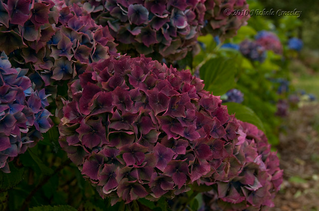 antique hydrangeas