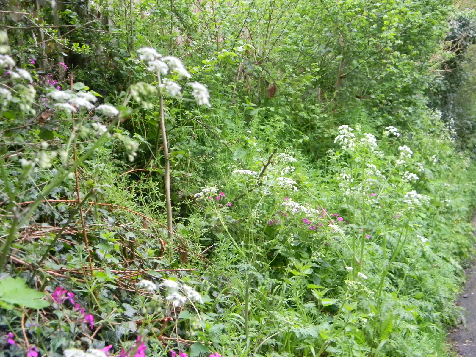 flowery hedgerow Guildford to Westhumble