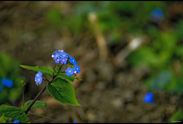 Tiny Blues of the Spring