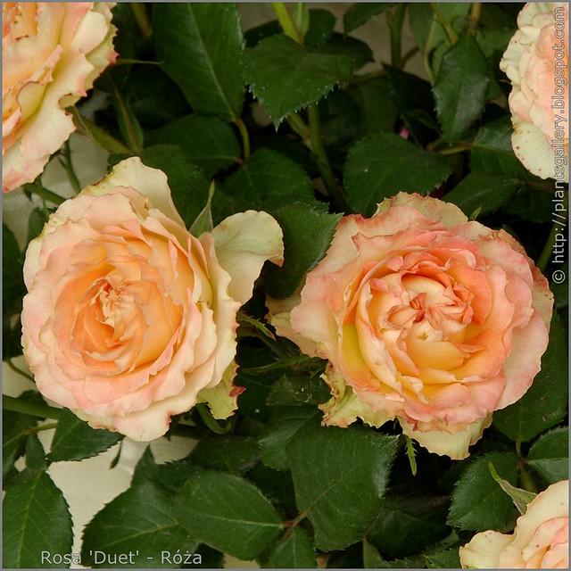 Rosa 'Duet' - Róża  'Duet'