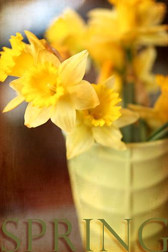 Spring Daffodils by jpbeth