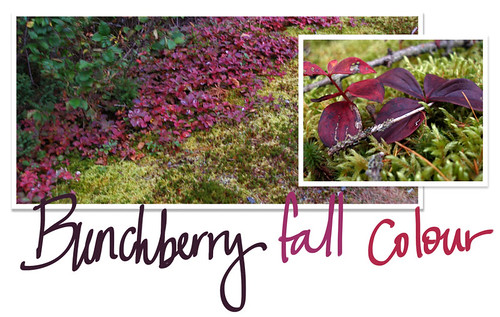 Bunchberry fall colour