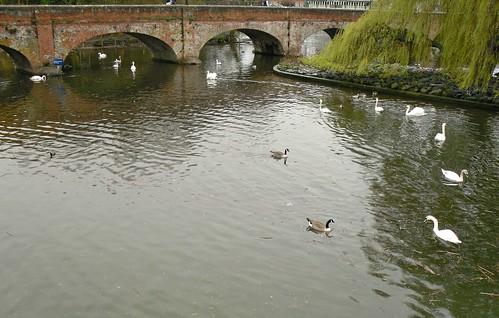 river & swans