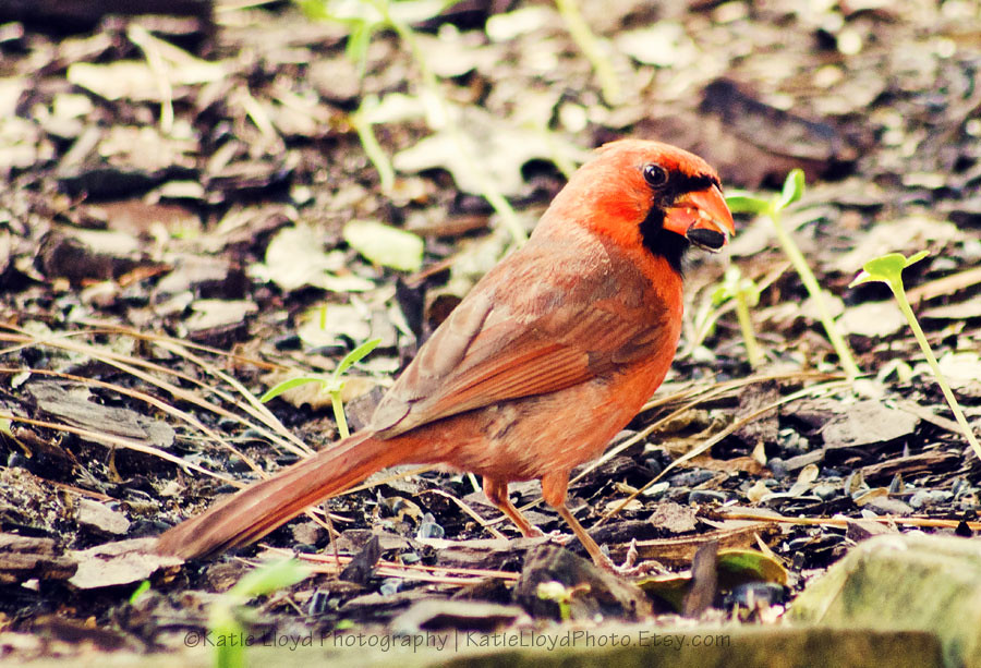 4-14-12-Cardinal
