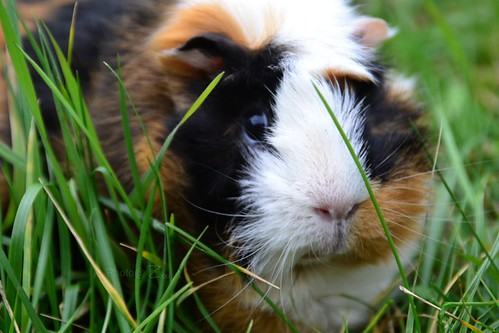 Malice  | Guinea pig by Zoo*
