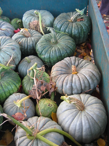 Pumpkin Harvest April 2012
