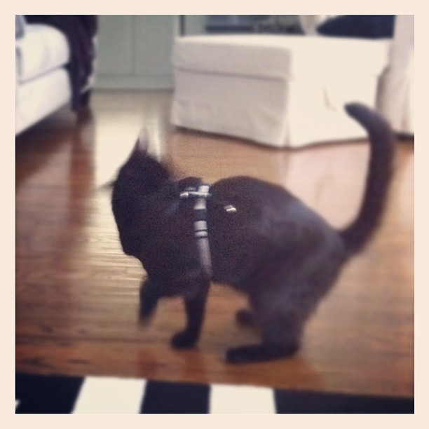 Stanley doesn't like his kitty harness
