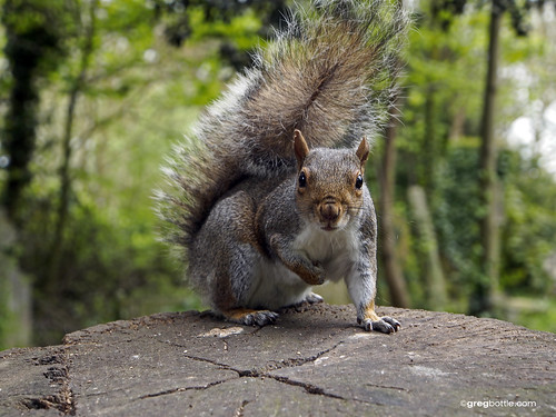 Grey Squirrel posing for his photograph