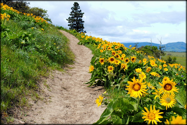Balsamroot lines the Tom McCall Preserve trail - Eastern Columbia River Gorge
