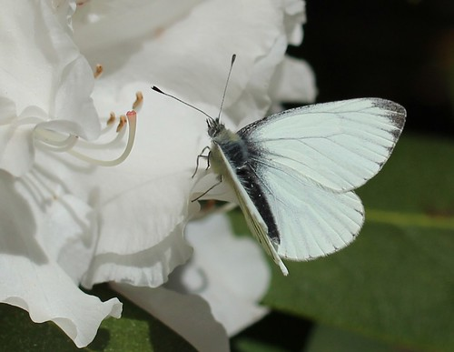 Green-veined white butterfly on white rhododendron