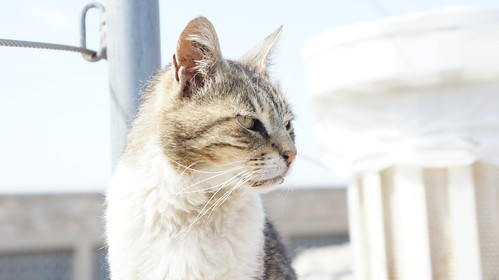 Acropolis Cat