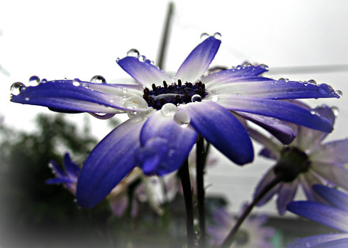 06-12-12 Drops on Daisies by roswellsgirl