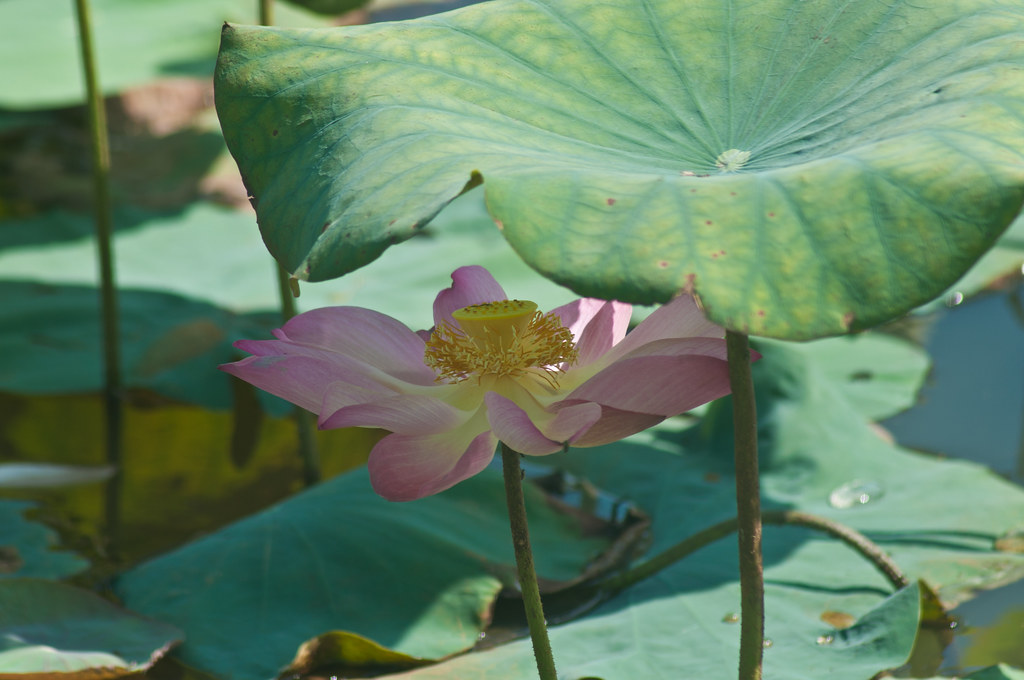 Lotus under the Hot Sun 烈日下的莲花 ...