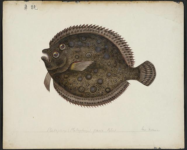 Platophrys (Platophrys) pavo blkr [= Rhombus pavo Bleeker, 1855]