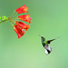 Hummingbird Checks Out Fower by howardignatius