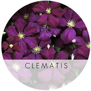 clematis_niobe