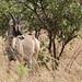 Roan antelope by Jonas Van de Voorde