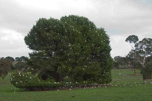 Corellas near Port Elliot