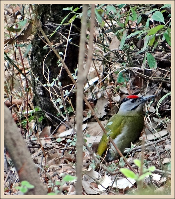 Grey Headed Woodpecker on the forest floor!