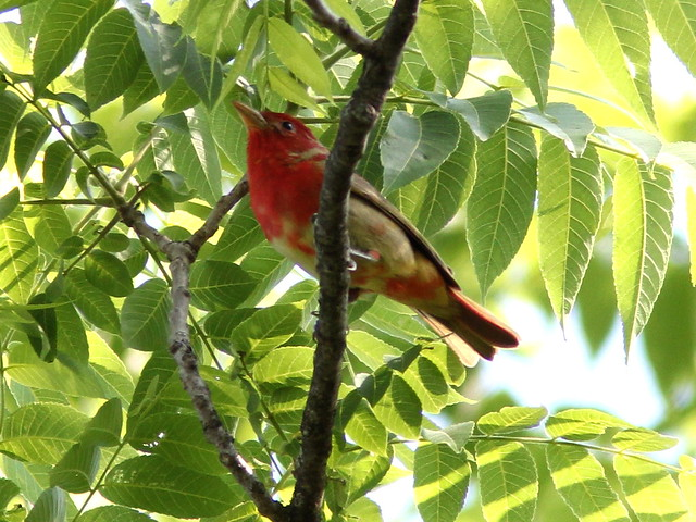 Summer Tanager 2-20120517