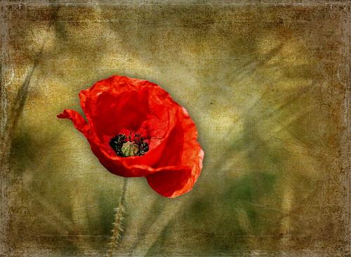 [フリー画像素材] 花・植物, ヒナゲシ ID:201205231800