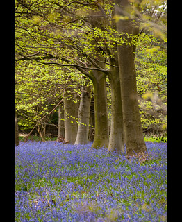 Bluebells at Blickling