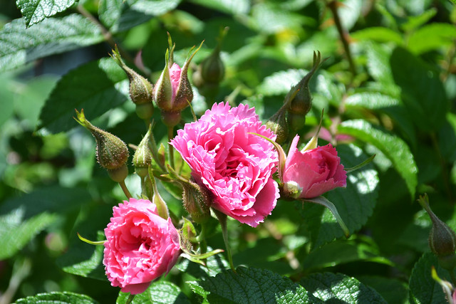 Rosa 'Pink Grootendoorst'. Photo by Jean-Marc Grambert.