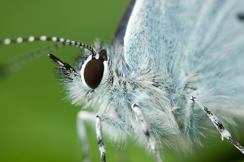 HOLLY BLUE 2012  #3