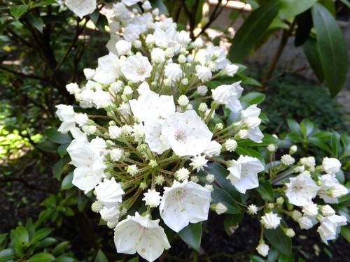 Mystery Flowering Shrub