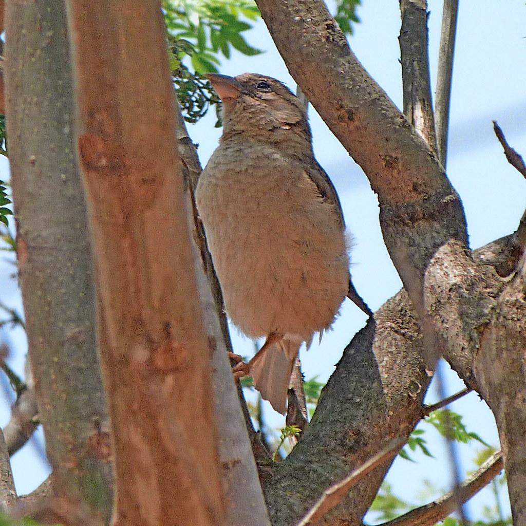 19-05-2012-lark-or-sparrow
