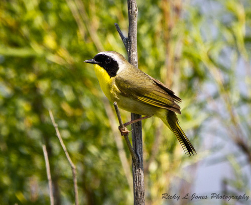 Common Yellow Throat by Ricky L. Jones Photography