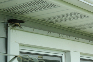 Barn swallow 5-29 1