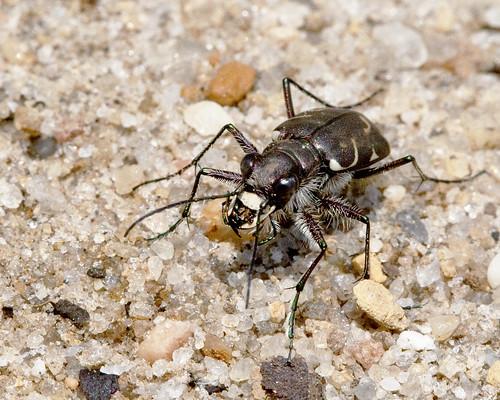 kh0831 pinebarrens nj insect bug