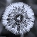 Dandelion by Buckles Photos