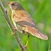 Grasshopper Warbler - Pennington Flash